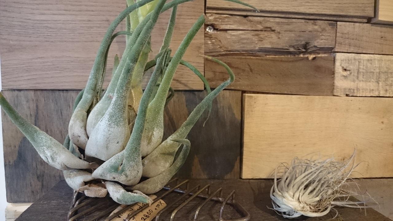 上野_ROUTE BOOKS_珍しい植物_チランジア・セレリアナ