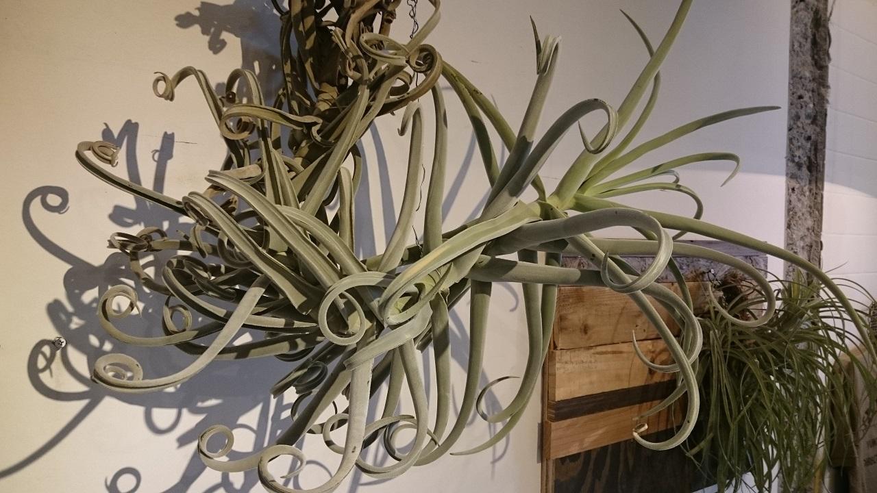 上野_ROUTE BOOKS_珍しい植物_チランジア・ドゥラティ