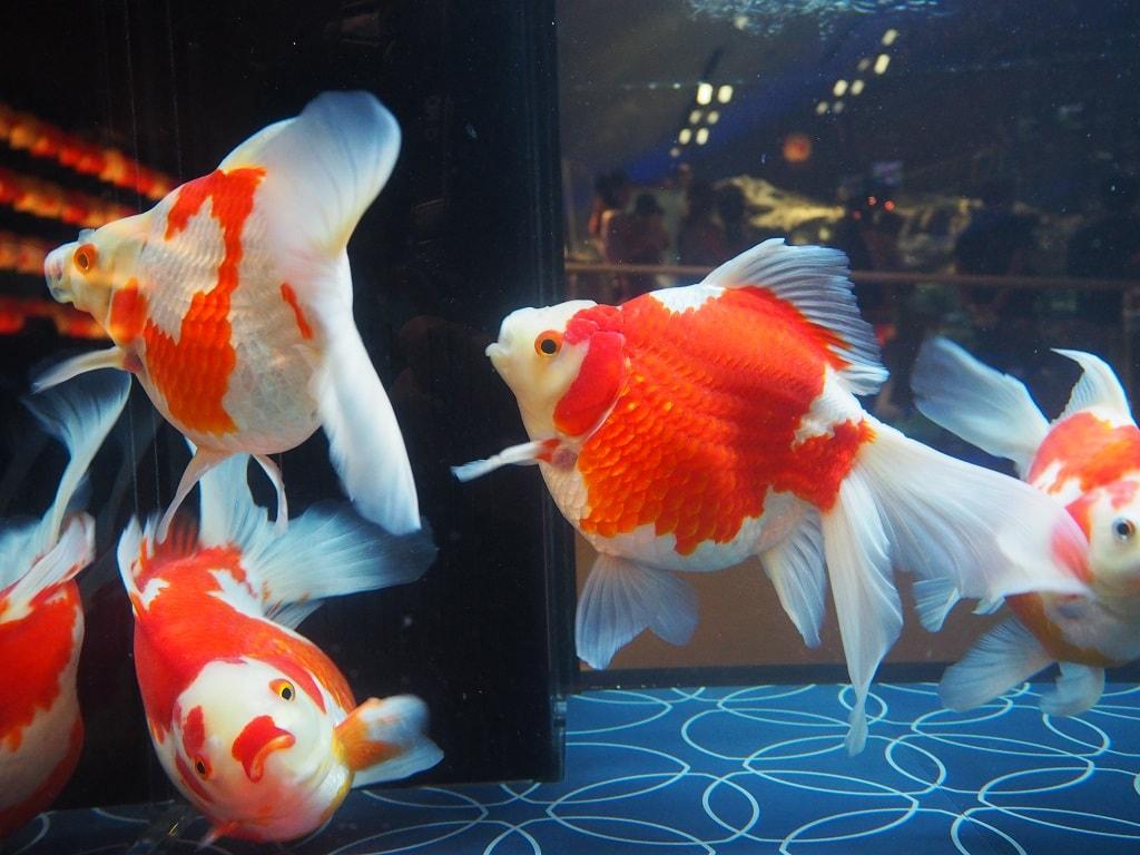 すみだ水族館_お江戸の金魚ワンダーランド_5