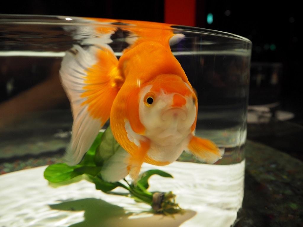 日本橋・アートアクアリウム2016_金魚1